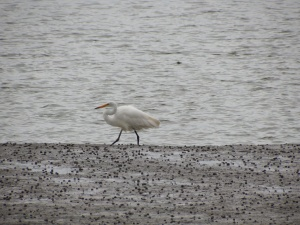The white heron. NZ population only 200.