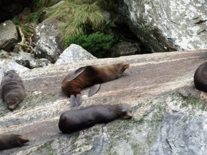 New Zealand fur seals.