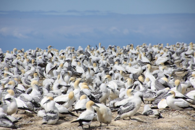 The colony numbers some 20,000 gannets, who are members of the Booby family. (Stop making your own jokes up at the back!)