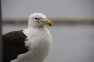 The southern black backed gull that gazed in through the Albatross hide.
